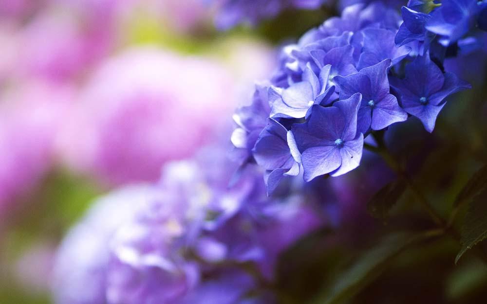 彩色晴朗植物花卉花园薰衣草阳光鲜花薰衣草图片薰衣草图片免费下载彩色图片晴朗图片植物图片花卉图片花园图片阳光图片鲜花图片